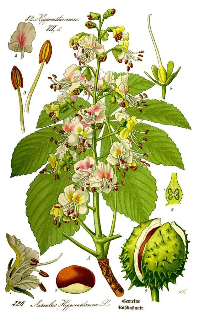 illustrations of different elements of the horse chestnut tree. With example of leaves, flowers, seed and seed pod